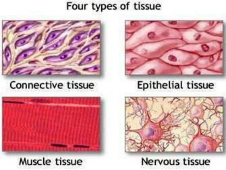 an example of a tissue in the body is