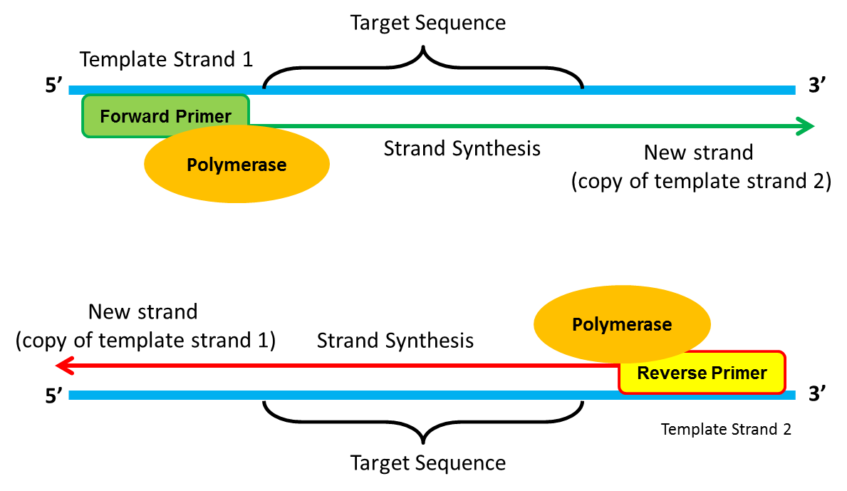 forward and reverse primers example