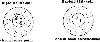 an example of a haploid cell