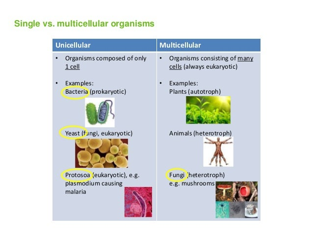 what is an example of multicellular
